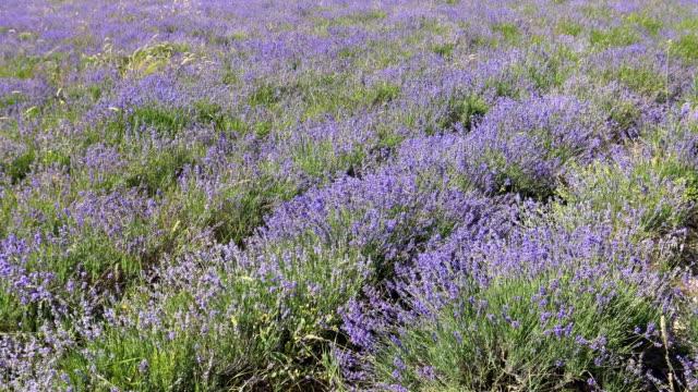 vídeos de stock e filmes b-roll de lavender meadow in sunlight - granadilha