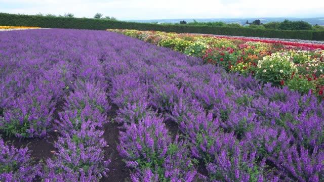 Lavender of farm Tomita, Nakafurano-cho, Hokkaido