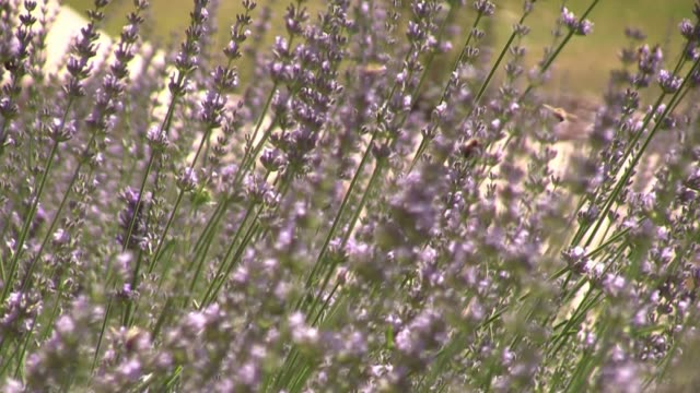 lavender plant flowers with bees - video