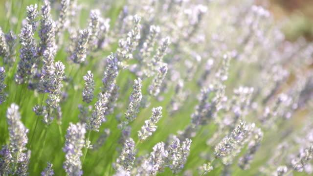 Lavender Plant video
