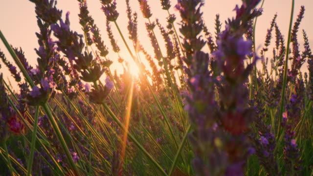 vídeos de stock e filmes b-roll de la cu lavender plants at sunset - lavanda planta