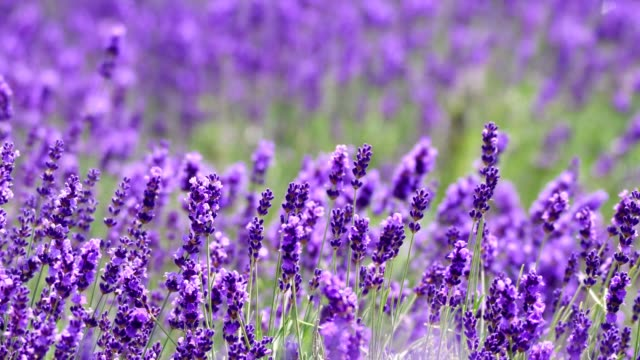 lavender - fiori video stock e b–roll