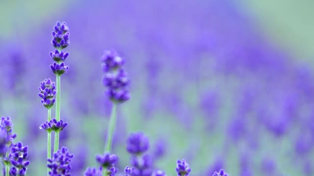 vídeos de stock e filmes b-roll de lavender - lavanda planta