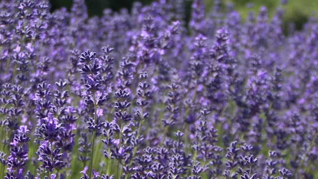 Lavender video