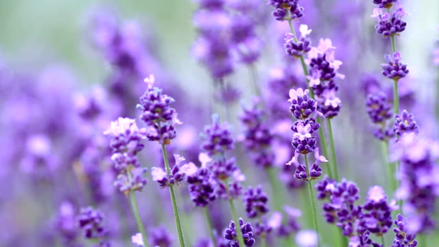 Lavenders flowers. video