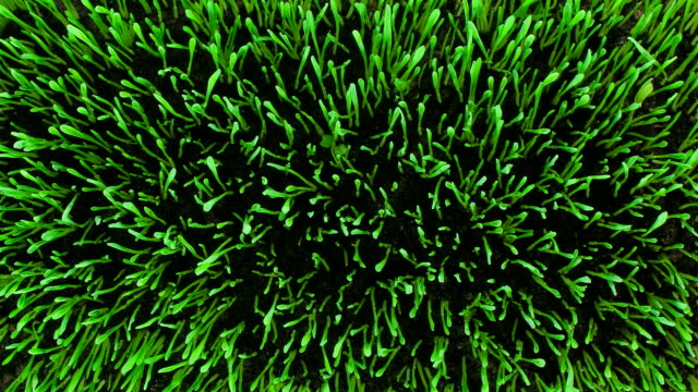 lawn sprout. top view - plants stock videos & royalty-free footage