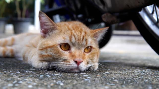 lazy cat be sleepy on ground - gatto dal pelo corto video stock e b–roll