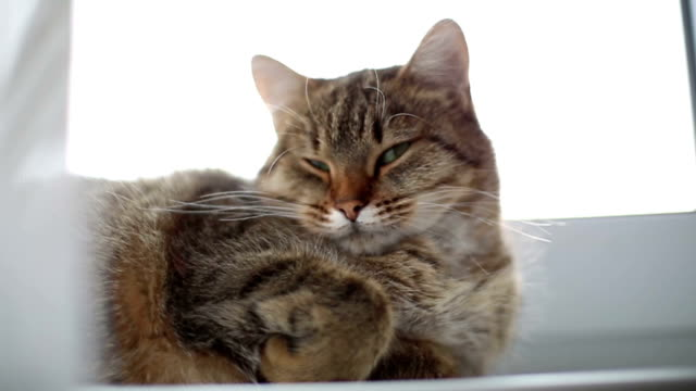 Lazy cat dozing on a windowsill. The cat is basking in the sun. tabby cat stock videos & royalty-free footage