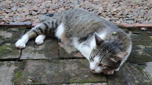 lazy cat lie leisurely on walkway - gatto dal pelo corto video stock e b–roll