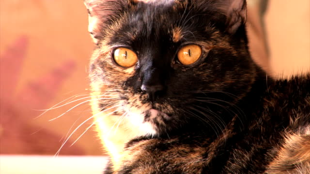 Lazy Cat Lazy cat yawns as it prepares for a nap. tortoise shell stock videos & royalty-free footage