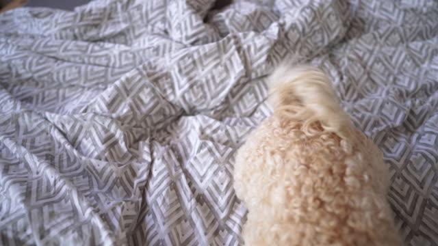 vídeos de stock, filmes e b-roll de cão preguiçoso na manhã que encontra-se na cama - cauda