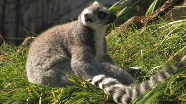 lazy lemur - lemur bildbanksvideor och videomaterial från bakom kulisserna