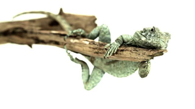 lazy nachdenklich lizard auf einem ast - faul ast stock-videos und b-roll-filmmaterial