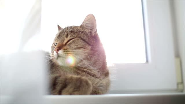 怠惰な縞模様の猫が窓辺に横になっています。 - ふわふわ点の映像素材/bロール