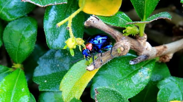 Leaf Beetles video