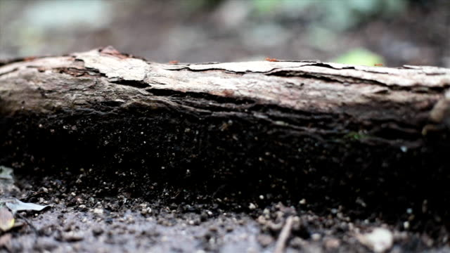 Leaf cutter ants on forest floor video