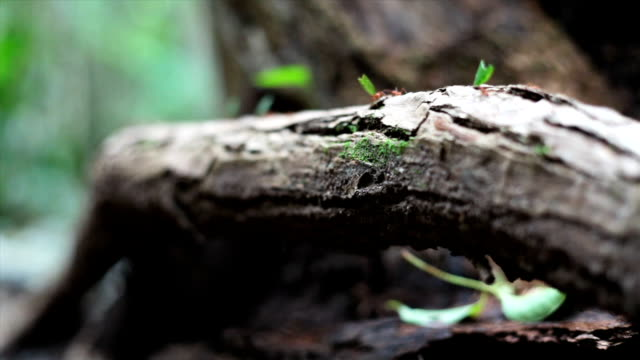Leaf cutter ants on tree roots forest floor video