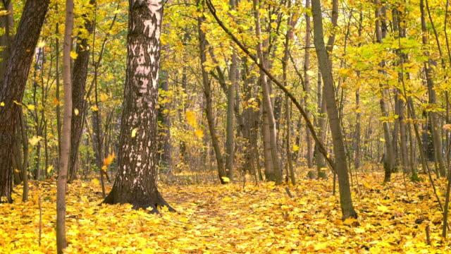 vídeos de stock, filmes e b-roll de queda da folha no parque brilhante do outono - bétula