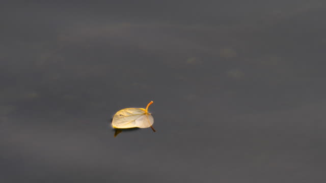 Leaf floating on water Leaf, Water, Autumn, Hong Kong, Lake floating on water stock videos & royalty-free footage