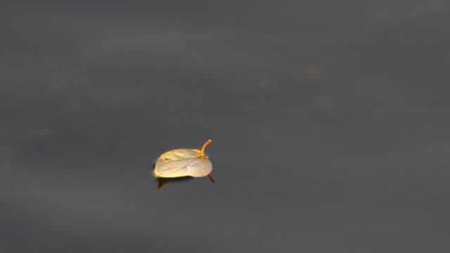 vídeos de stock, filmes e b-roll de folha de flutuando na água - flutuando na água