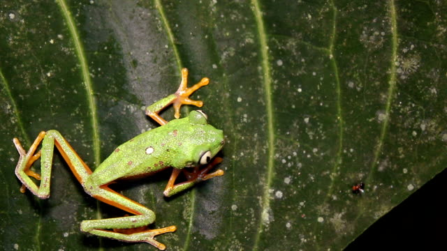 Leaf Frog (Agalychnis hulli) video