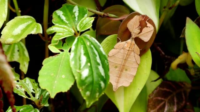 leaf insect on green leaf - kamuflaż filmów i materiałów b-roll