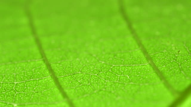 Leaf super macro with camera pan video