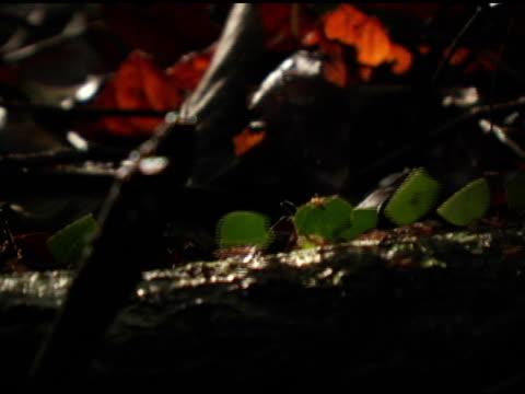 leafcutter ants 5 - intoning bildbanksvideor och videomaterial från bakom kulisserna