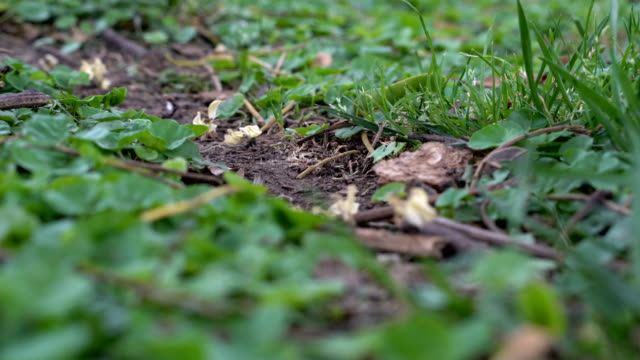 Leafcutter ants at work Ants carry plants in an anthill along their small path arthropod stock videos & royalty-free footage