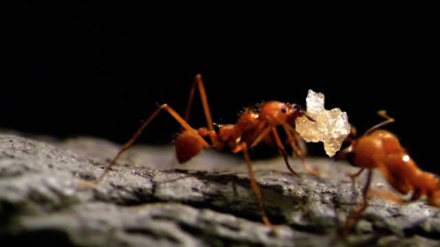 HD - Leaf-cutter ants. Slow-mo video