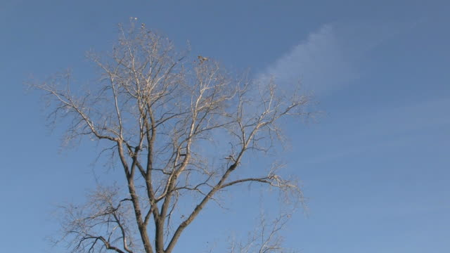 Leafeless tree and blue sky - HD 1080/30F video