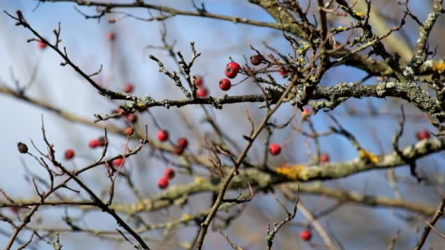 Leafless hawthorn branch with red berries fluttered in the wind (Crataegus monogyna) video