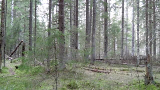 avlövade höga tallar i skogen - fur bildbanksvideor och videomaterial från bakom kulisserna