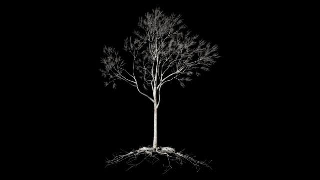 vidéos et rushes de arbre sans feuilles avec des racines, timelapse de plus en plus, luma matte attaché - racine partie d'une plante