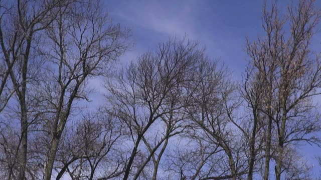 Leafless Trees, Early Spring, Winter, Late Fall or Autumn