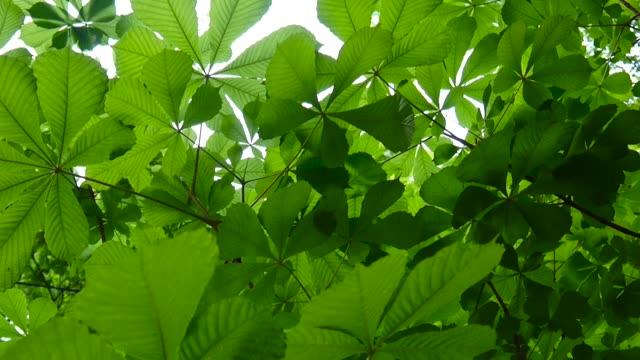 stockvideo's en b-roll-footage met leafs kastanjeboom grondig verlicht door de zon. videobeelden hd schieten in het voorjaar van statische camera. castanea - plantdeel