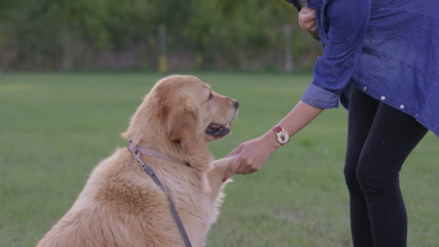 Learning Obedience Cute golden retriever shaking a paw with her owner during a dog obedience class outdoors in a grassy field. workshop stock videos & royalty-free footage