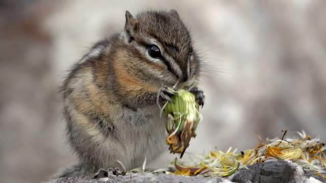 Least chipmunk eats flower seeds Stone Mountain Provincial Park British Columbia Canada video