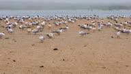 istock Least tern birds on the beach, California 1274565730