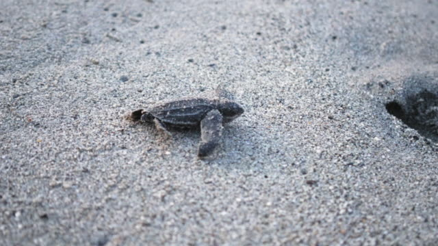 Leatherback turtle hatchling scuttles down beach to sea, Trinidad, Trinidad and Tobago video