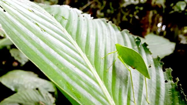pozostawić szarańcza w ecuadorina dżungli - kamuflaż filmów i materiałów b-roll