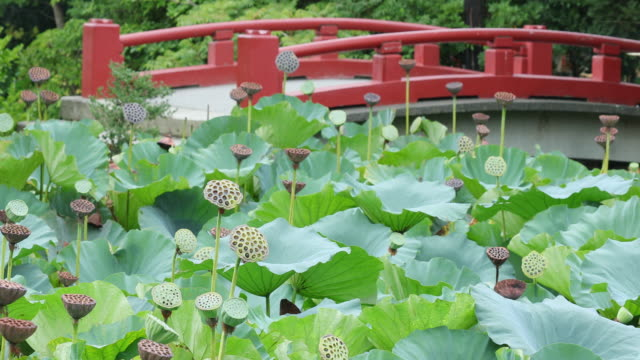 Leaves and seeds swaying in the wind of lotus pond