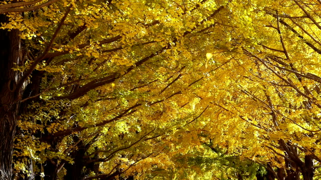 Leaves fall in yellow tunnel of ginkgo trees Autumn scene. Yellow leaves fall. Slow motion (original: 60 fps) ginkgo tree stock videos & royalty-free footage