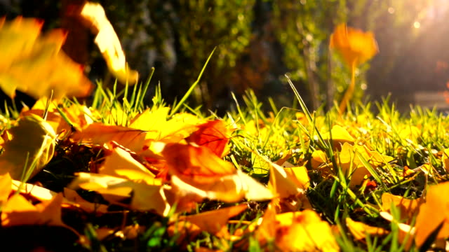 vídeos de stock e filmes b-roll de leaves falling on grass in autumn - leaf