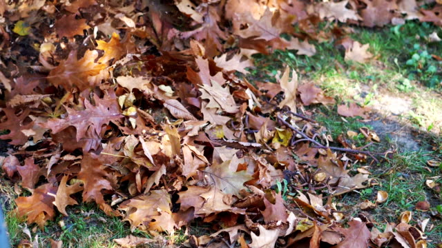 Leaves in a blast of wind made by a leaf blower in slow motion 180fps video