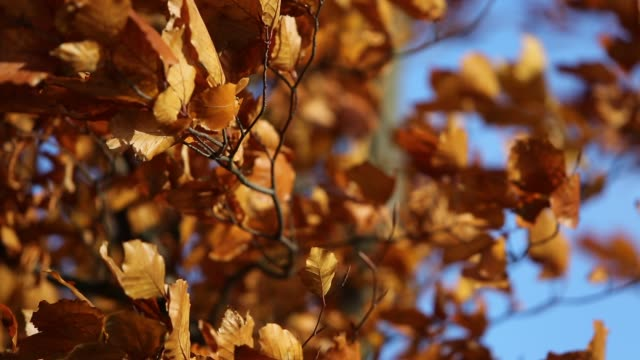 Leaves in strong wind. video