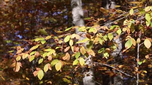 yedigöller milli parkı' nda yapraklar, bolu, türkiye. - ihsangercelman stok videoları ve detay görüntü çekimi