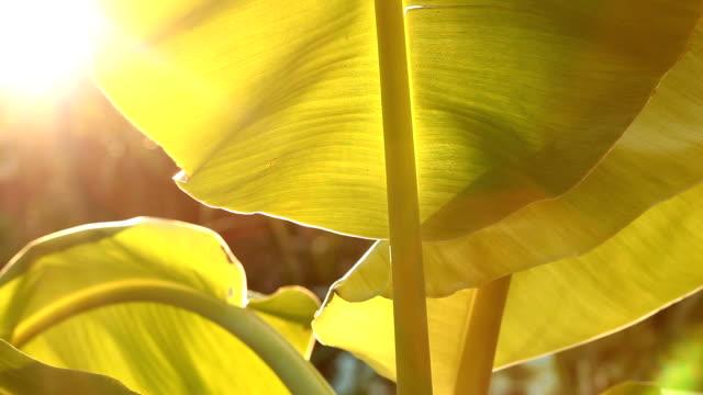 Leaves of banana trees. video