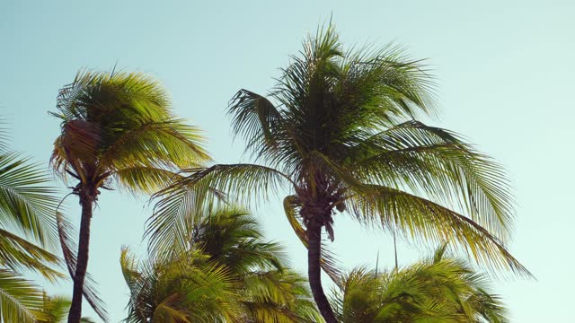 Leaves of coconut palms fluttering in the wind against blue sky. Bottom view. Bright sunny day. Riviera Maya Mexico