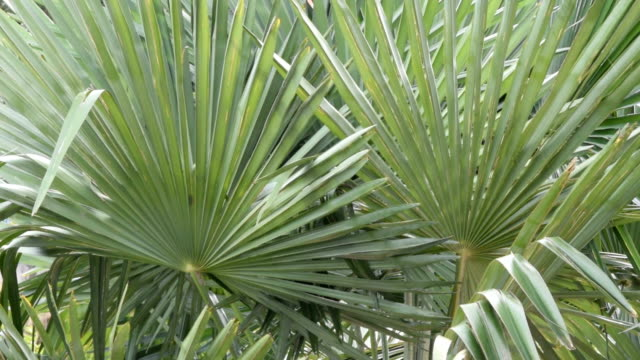 Leaves of palm tree in the wind